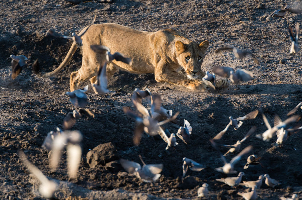 A lioness (Panthera leo) chases doves from a waterhole, Savuti marsh, Chobe National Park, Botswana.