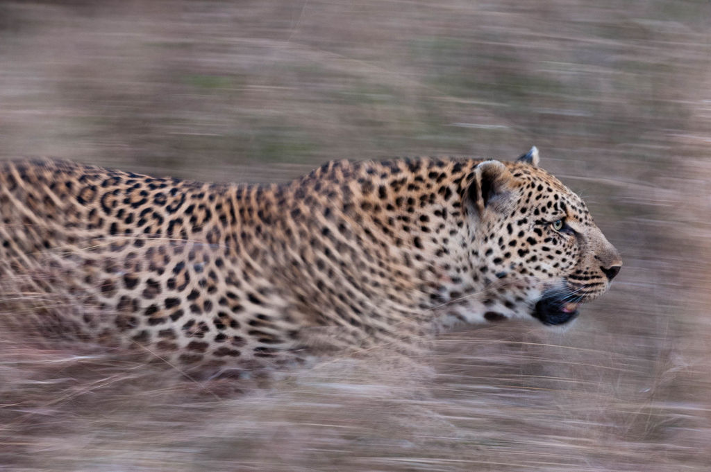 A leopard, Panthera pardus, running through tall grass.