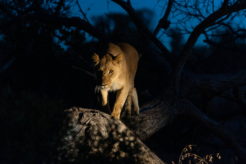 A lioness, Panthera leo, walking along a fallen tree trunk at night.